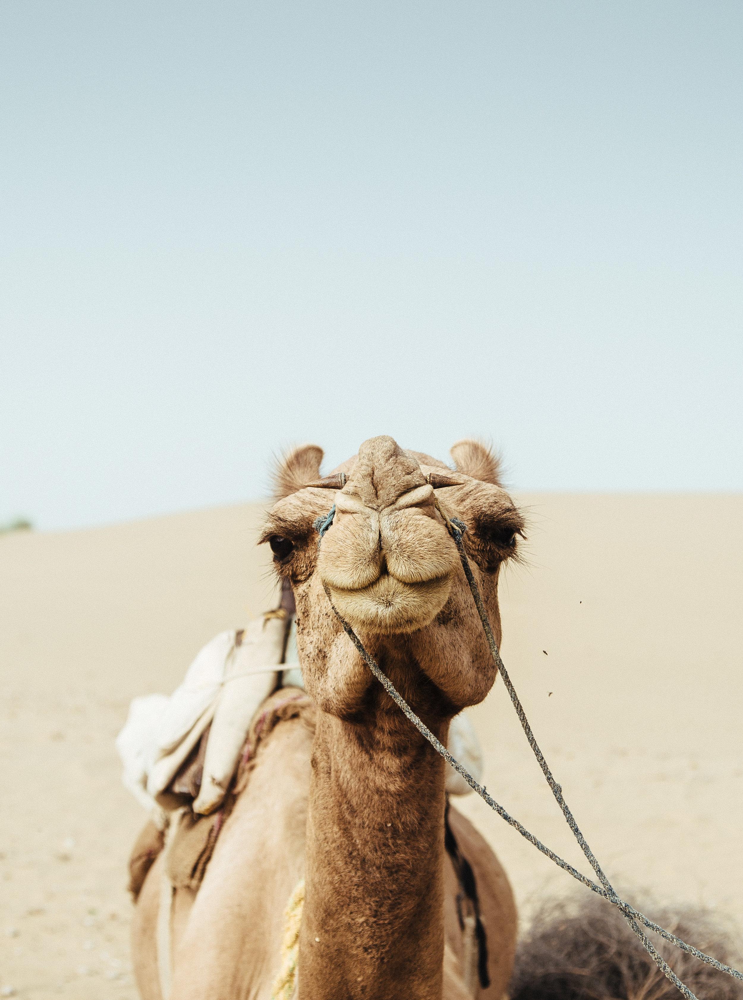 india2_jaislamer_camel-8.jpg