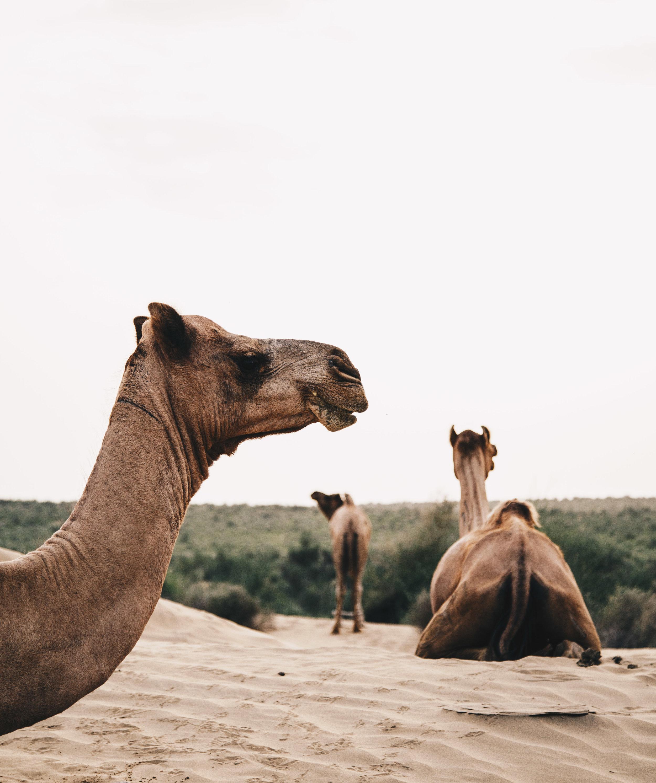india2_jaislamer_camel-16.jpg