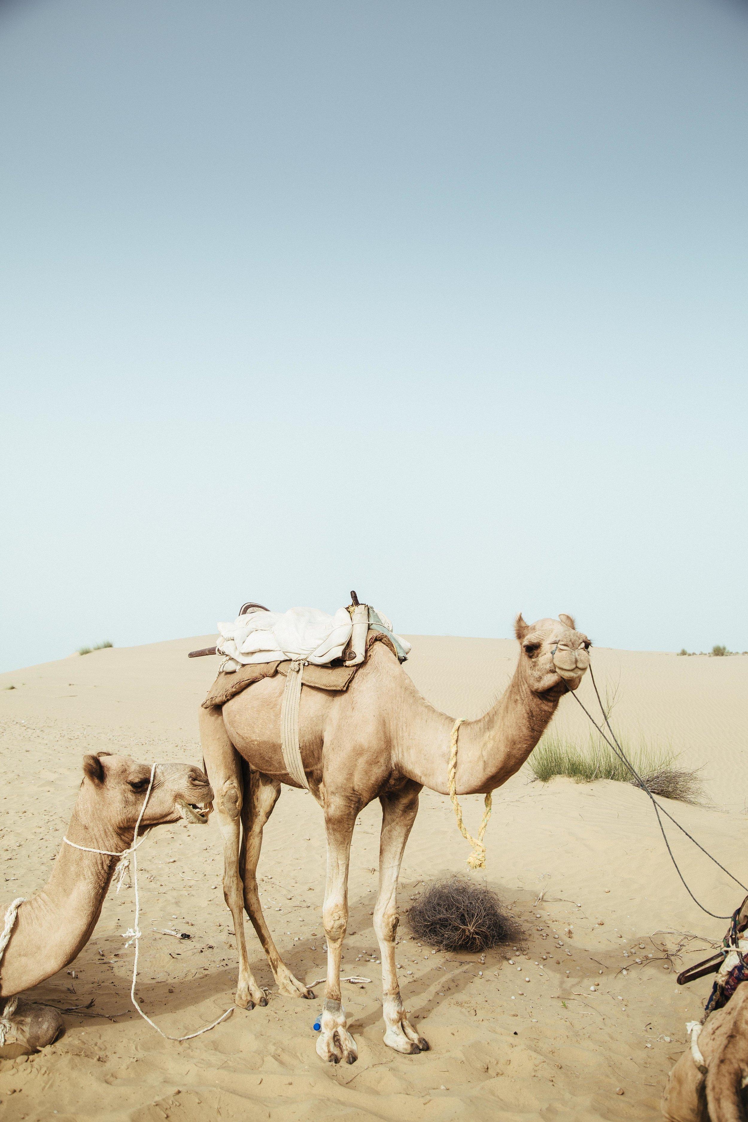 india2_jaislamer_camel-7.jpg