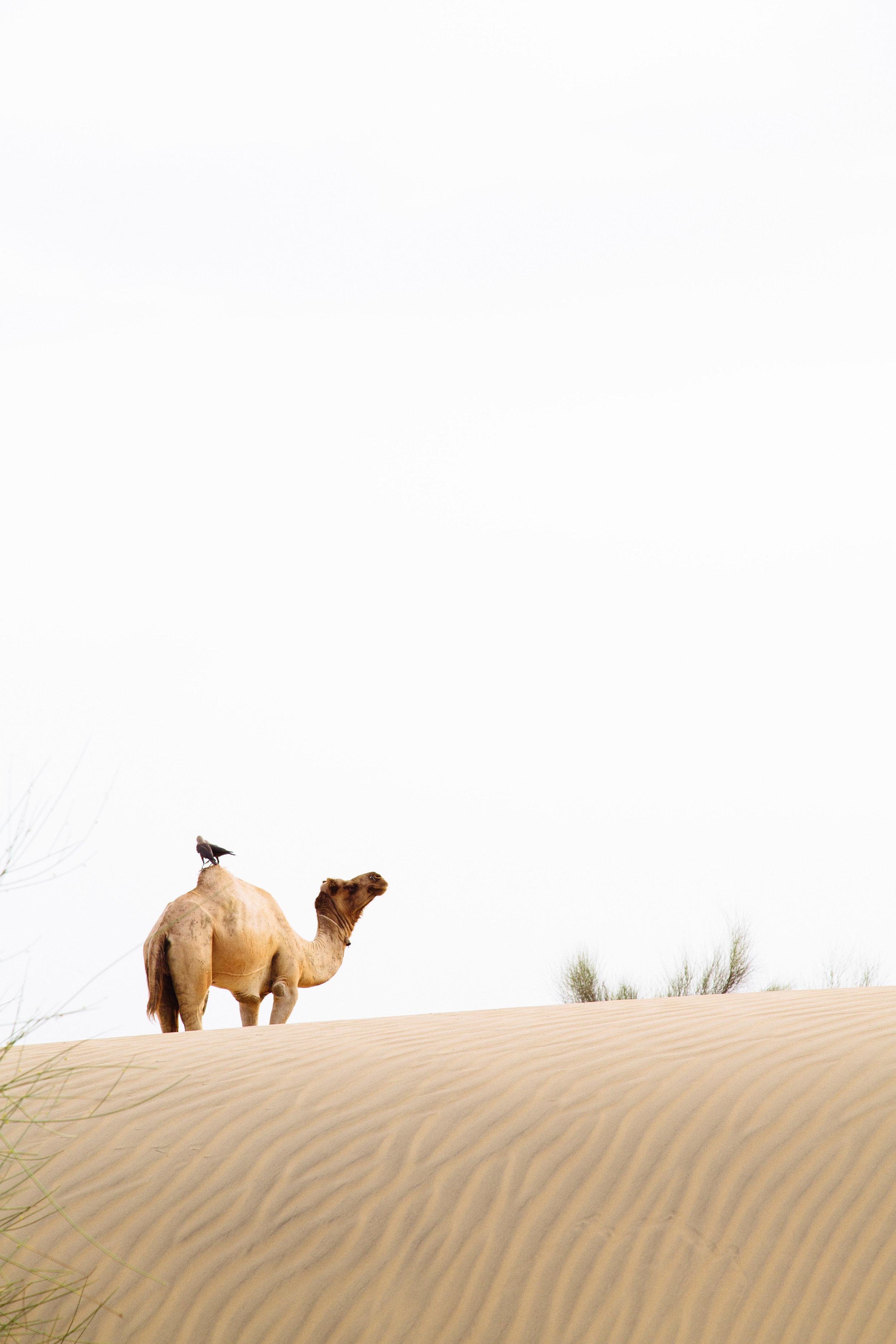 india2_jaislamer_camel-15.jpg