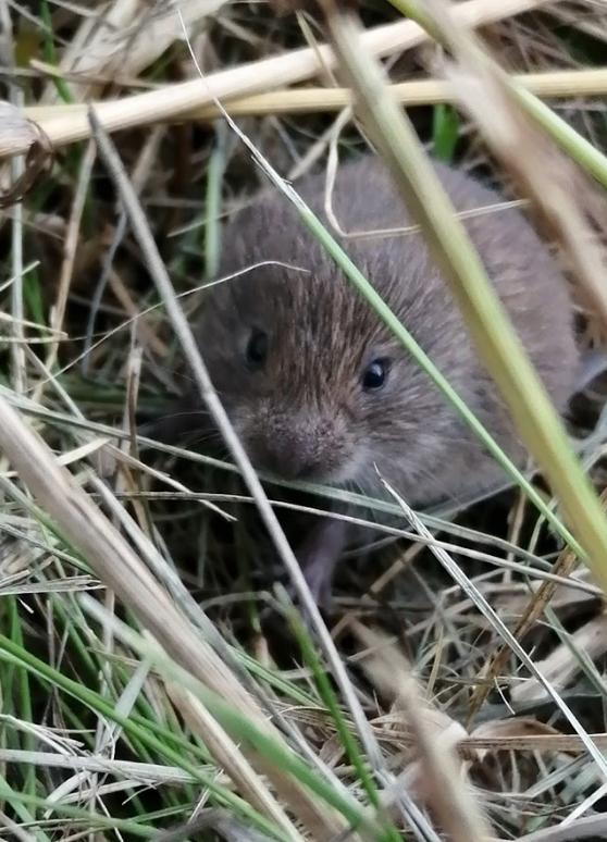 field mouse.jpg
