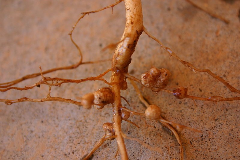 Figure 2 The nodules on these roots house the nitrogen fixing, Rhizobium bacteria ( Wikimedia commons )