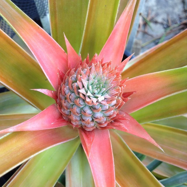 You can get the top of a store-bought pineapple to root and grow another pineapple in your own yard.