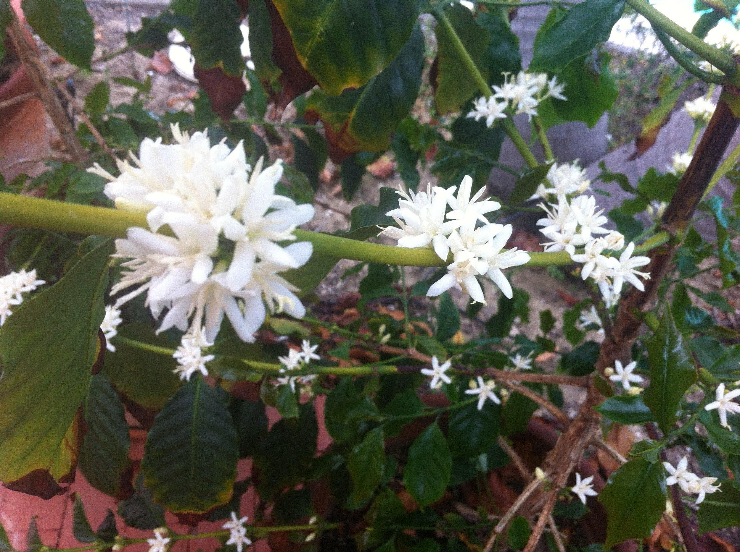 Coffee blooming in my yard a few years ago.