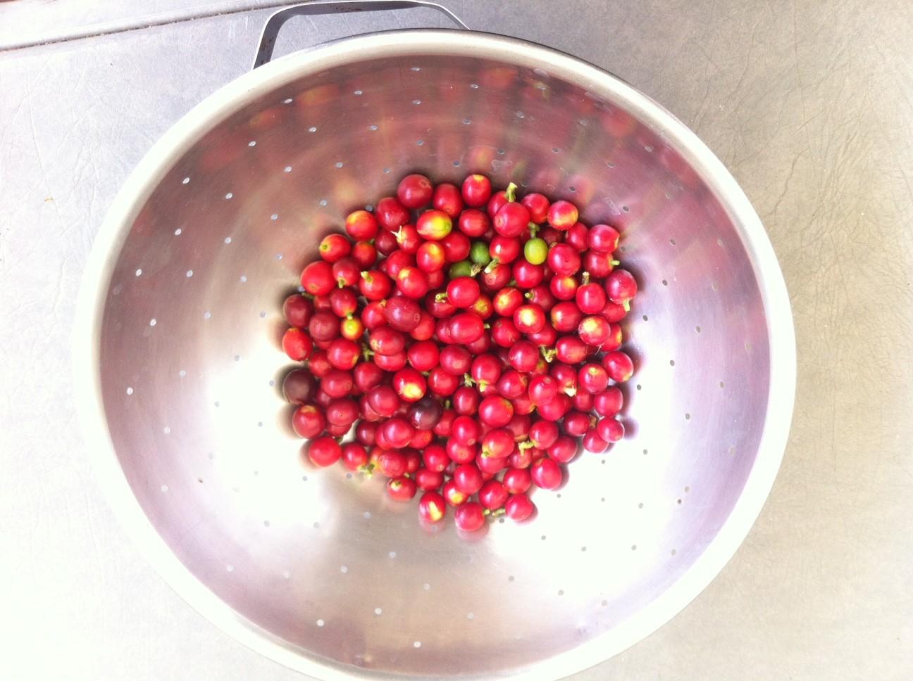 Ripe coffee berries from my yard.
