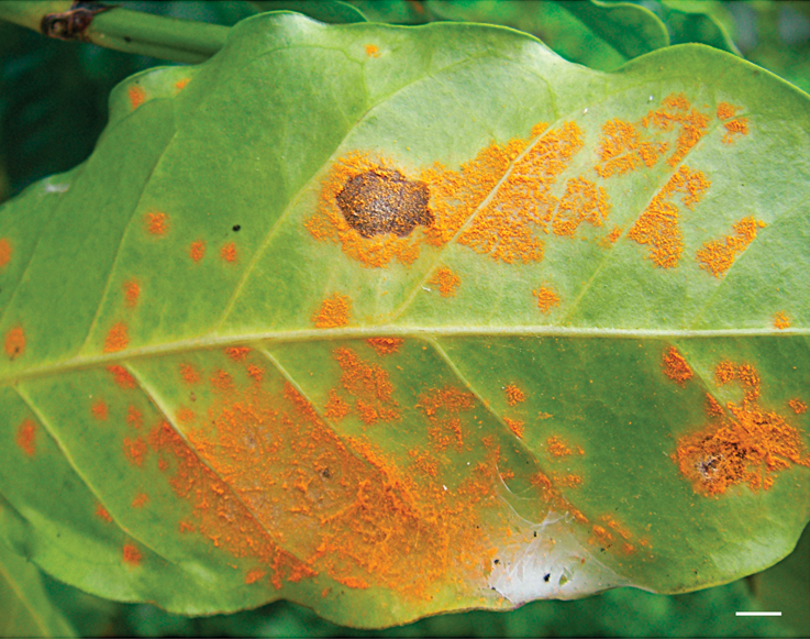 A rust infected coffee leaf. (Carvalho et al. [CC BY 2.5 (https://creativecommons.org/licenses/by/2.5)]