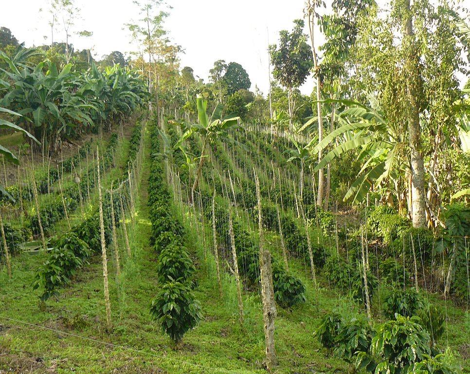 A Coffee Farm in Columbia.  ( Wikimedia Commons )