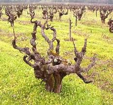 "The Anaheim vineyards would have been ""head-trained"" like this rather than the modern system of trellising ( Image from UC Davis )."