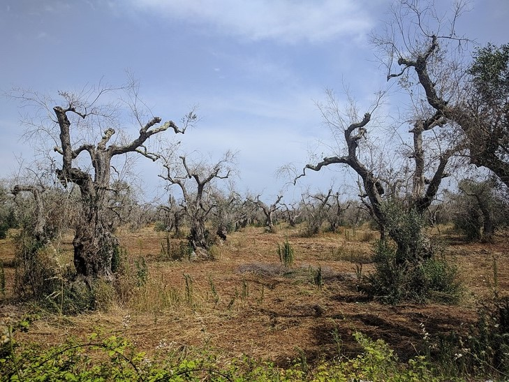 """he tragic death of an old olive grove, """"murdered"""" by Xylella (Sjor,  Wikimedia commons )."""