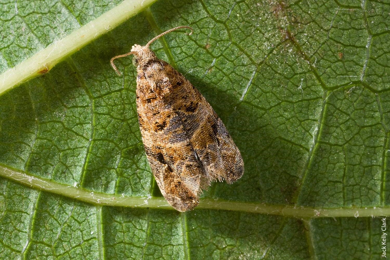 Lobesia:  European Grapevine Moth image by Jack Kelly Clark , University of California Extension