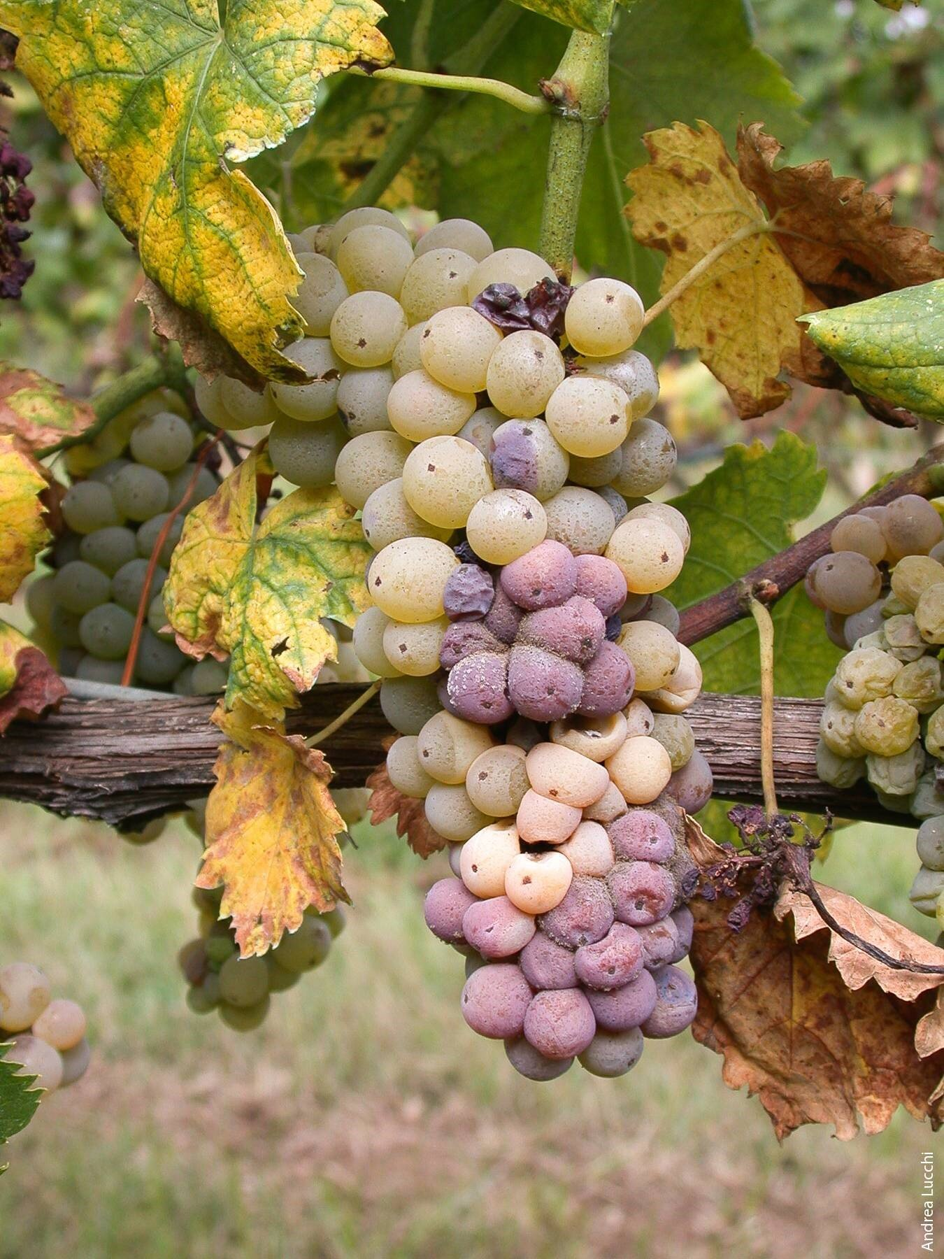 Rotting grape image by Andrea Lucchi , University of California