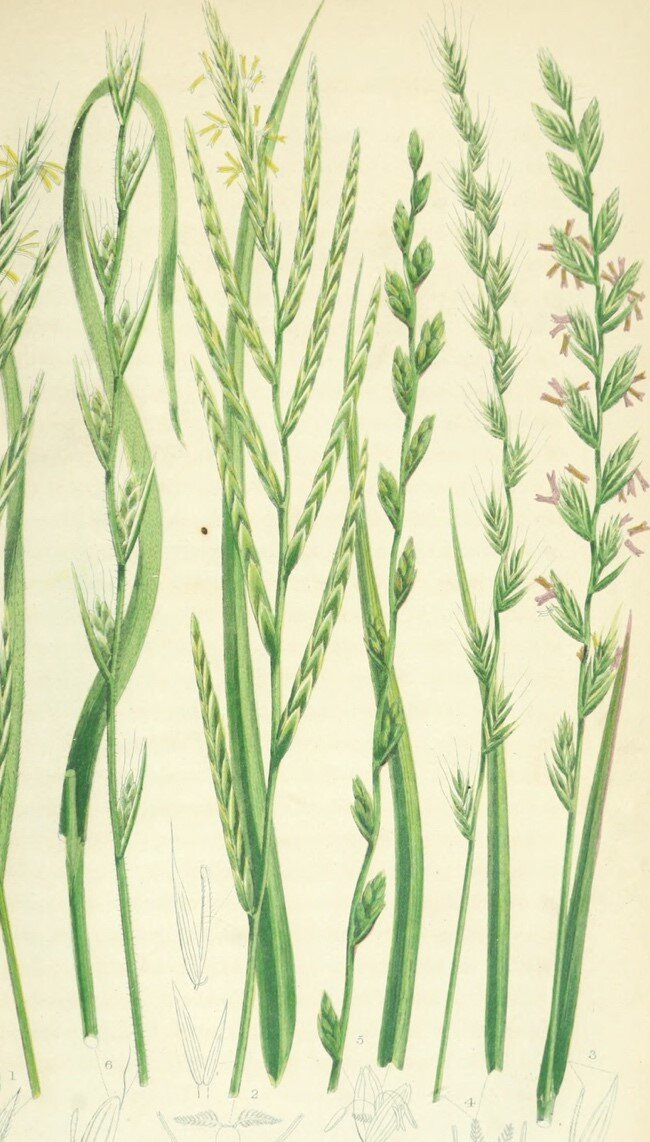 """Drawing of the """"heads"""" of various British grasses, Pratt, Anne, 1806-1893 [No restrictions, Wikimedia commons)."""