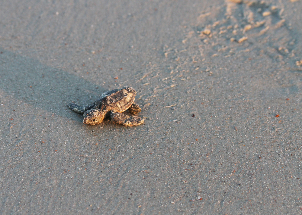 Loggerhead hatchling begins its trek to the ocean on Edisto Beach.