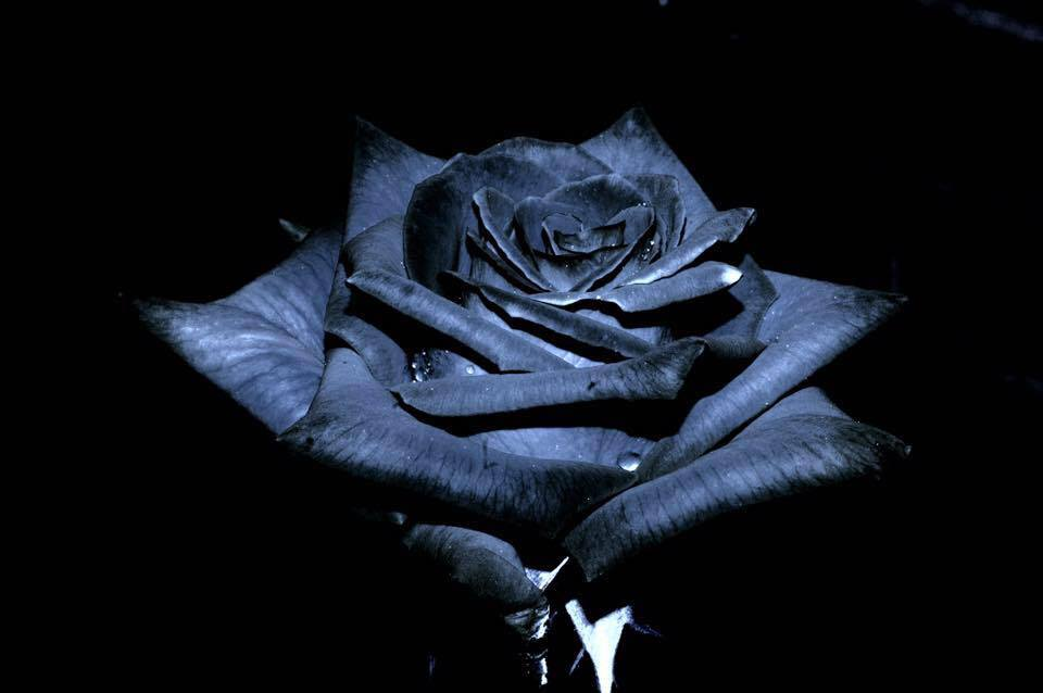 black-madonna-black-rose.jpg