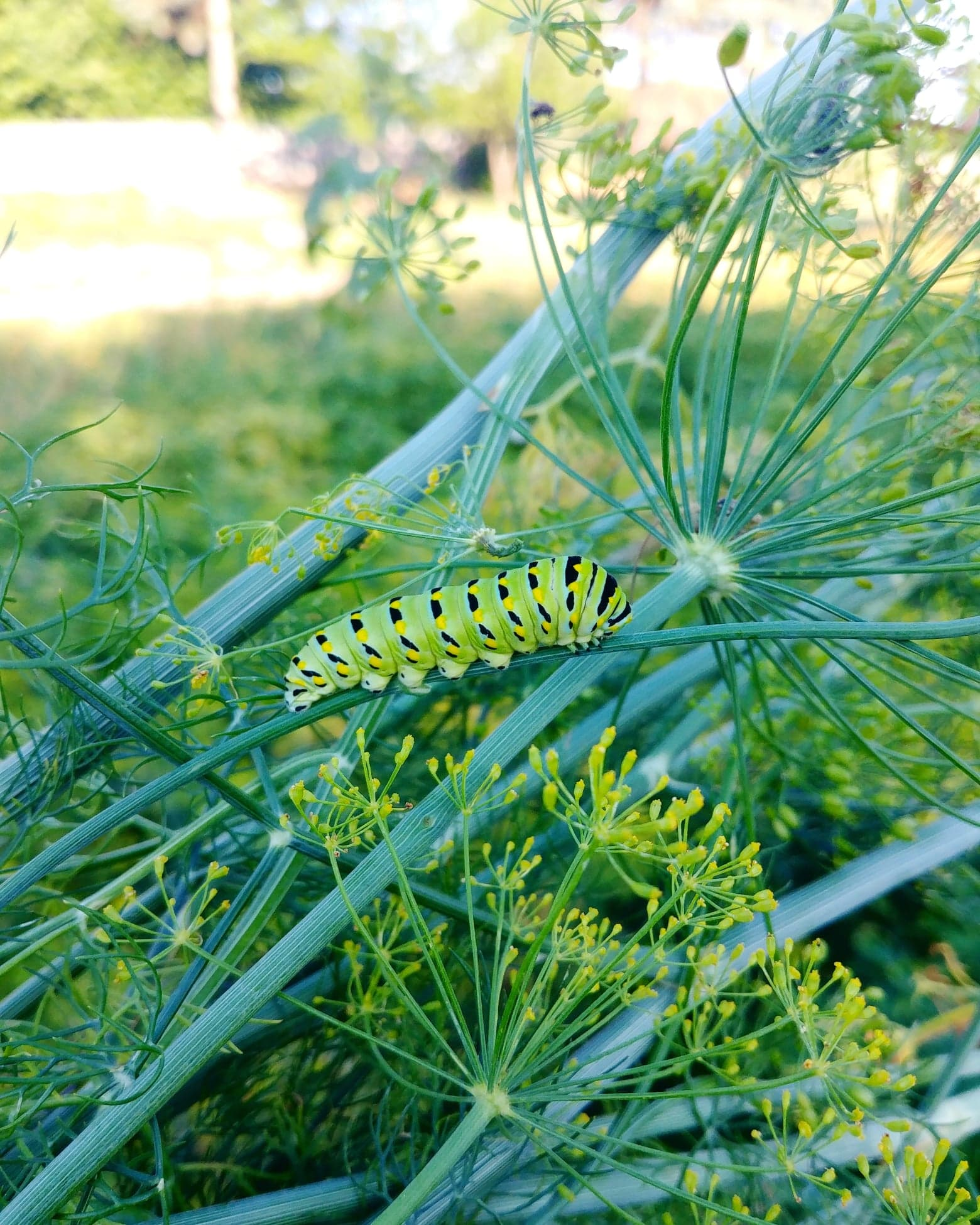 The swallowtail caterpillar on a dill plant.