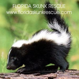 skunk 2 300.JPG