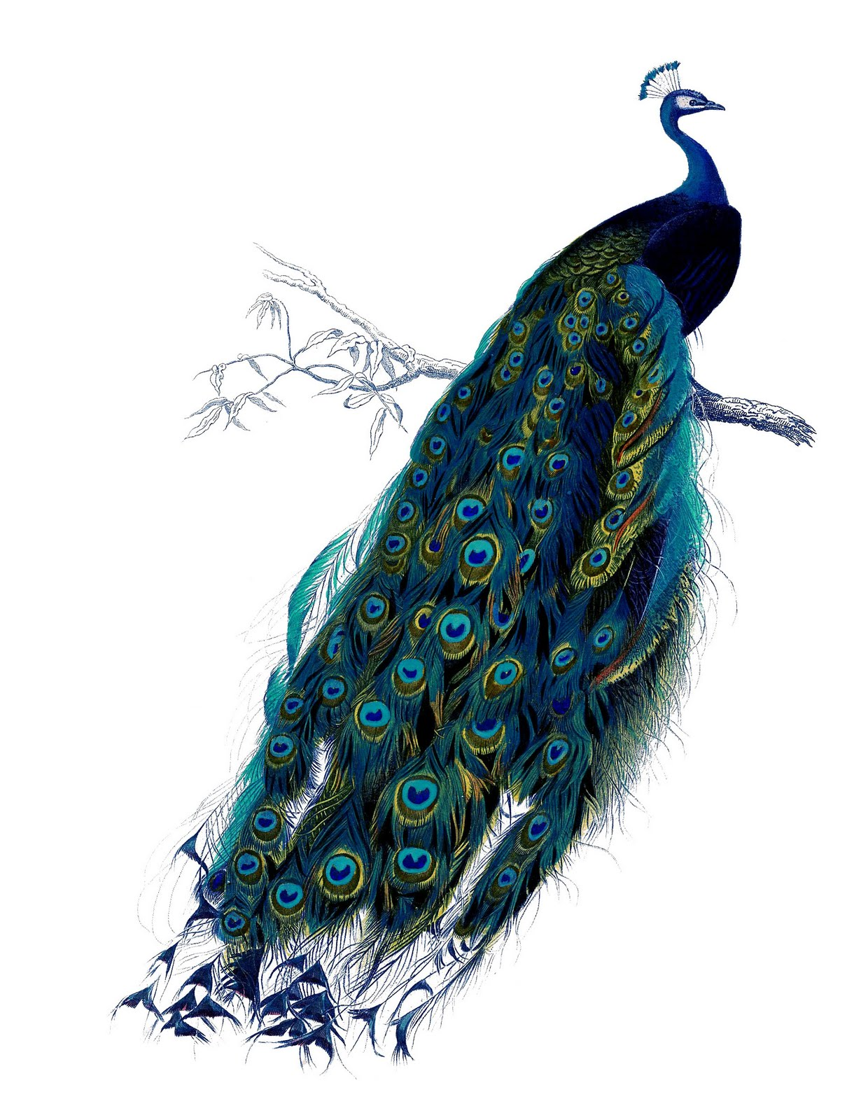 peacock+vintage+image--graphicsfairy15 (1).jpg
