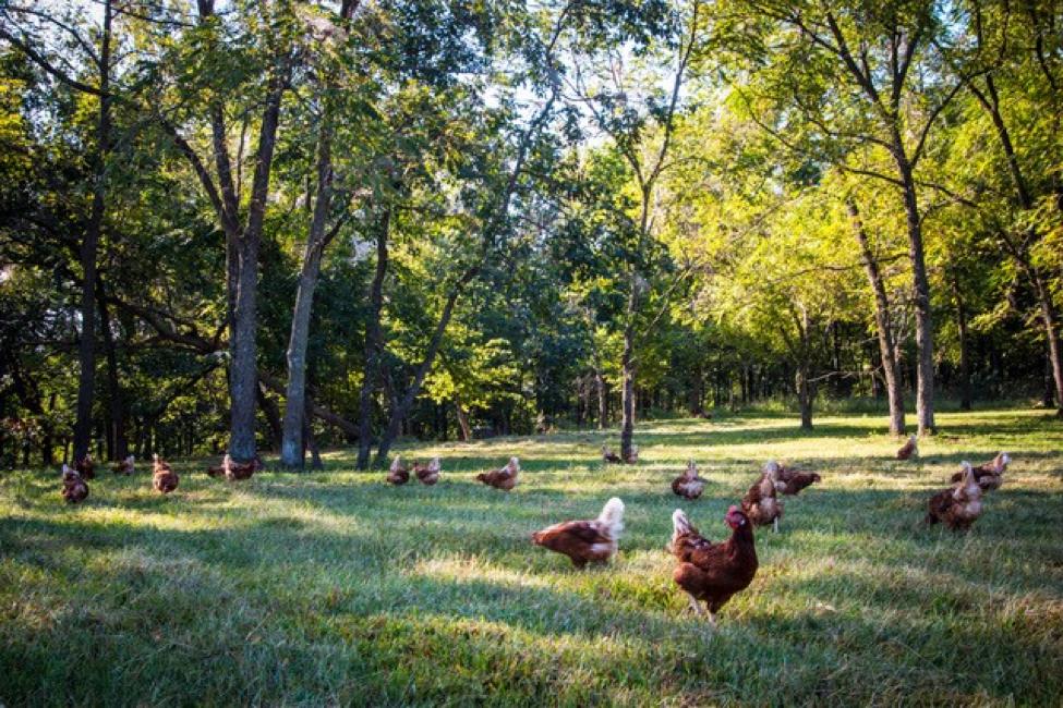 Happy hens roaming.  Photo courtesy of Vital Farms.