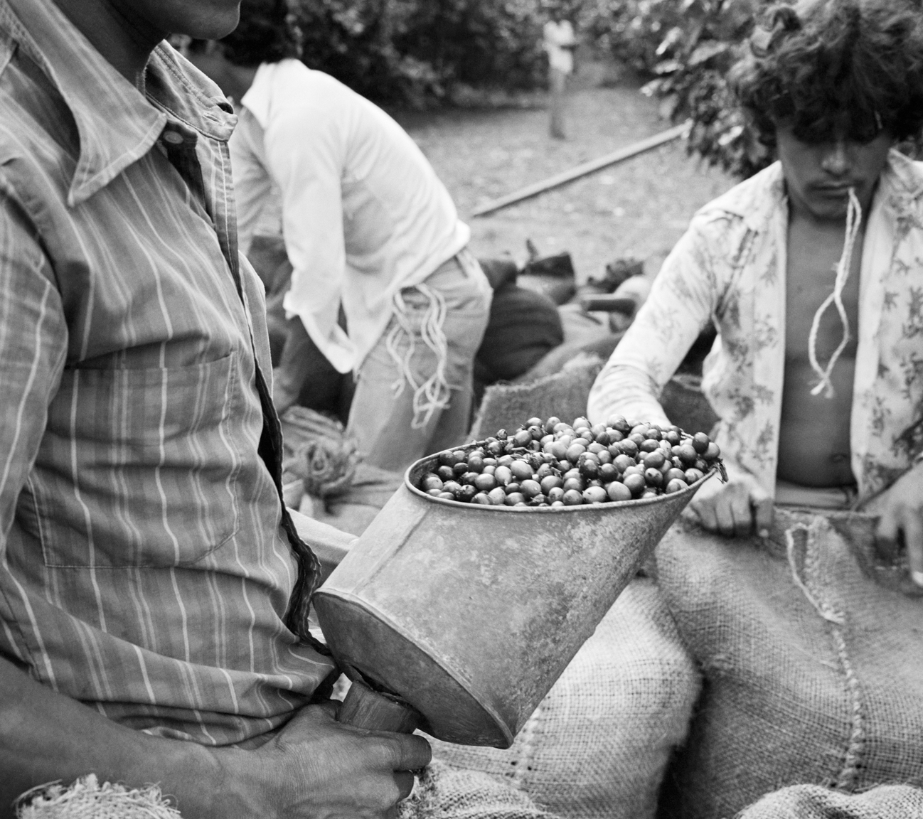 Salvadoran men load bags of freshly picked coffee beans for export at a coffee finca October 1983 in Santa Tecla, El Salvador.