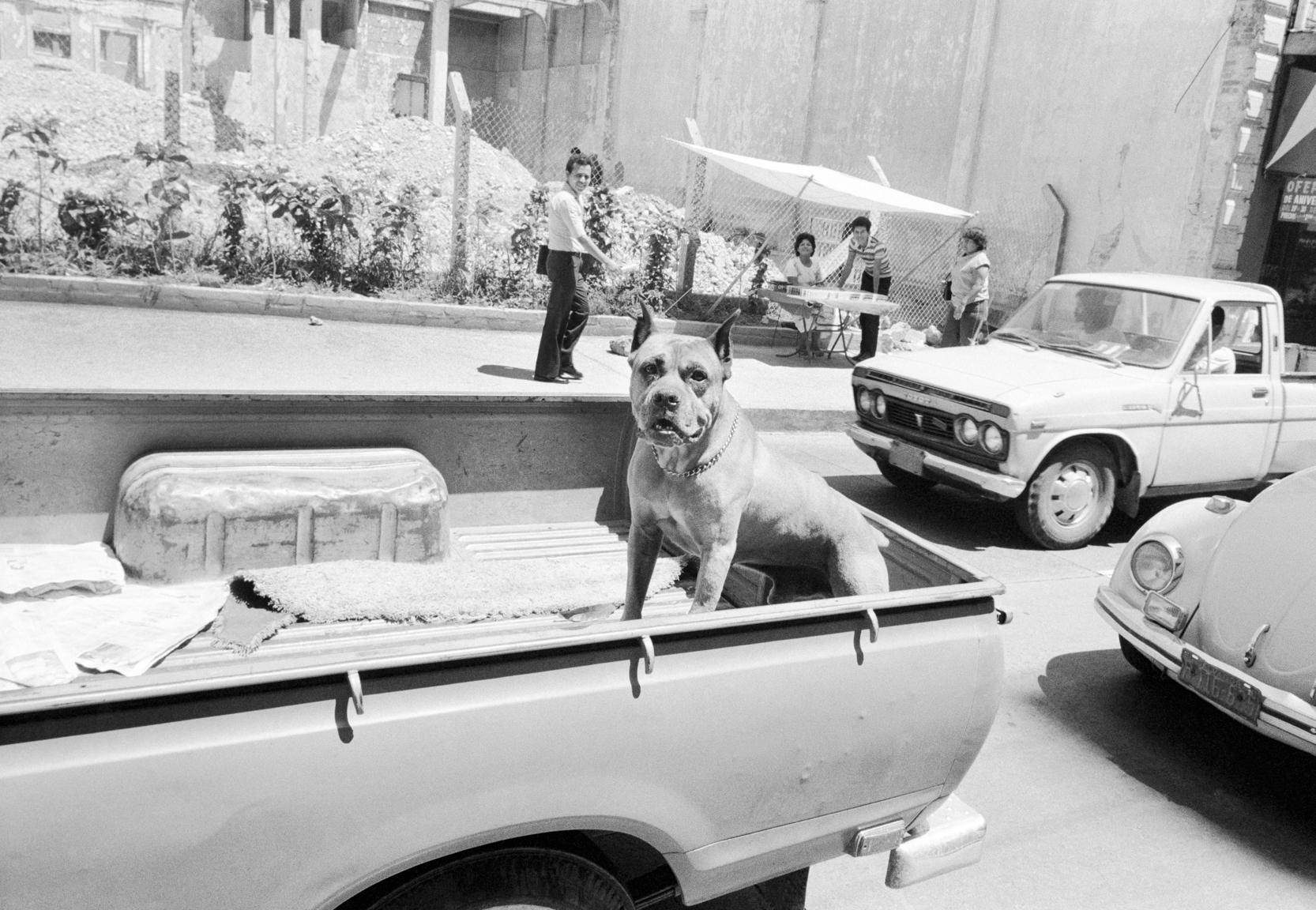A pit-bull like dog rides in the back of a private pick-up truck June 1983 in downtown San Salvador, El Salvador.