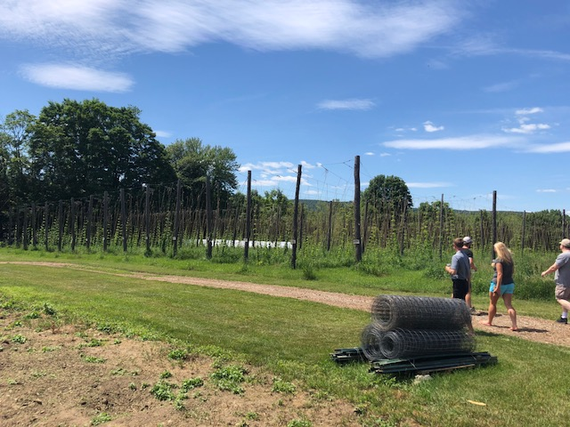 Approaching the rows of hops