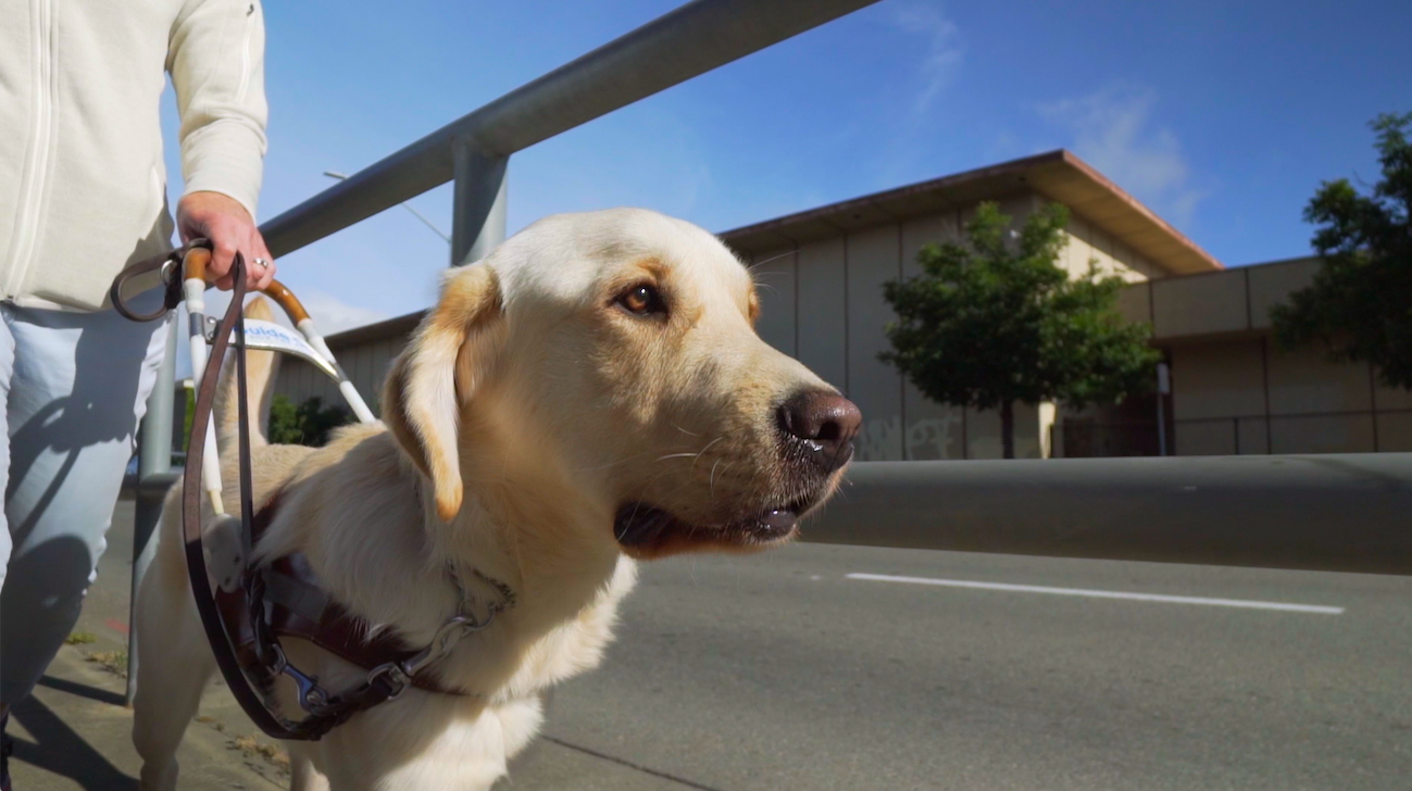 """Phil, one of the dogs in training to be a Guide Dog for the Blind, seen in the documentary """"Pick of the Litter."""" (Photo courtesy of Sundance Selects)"""