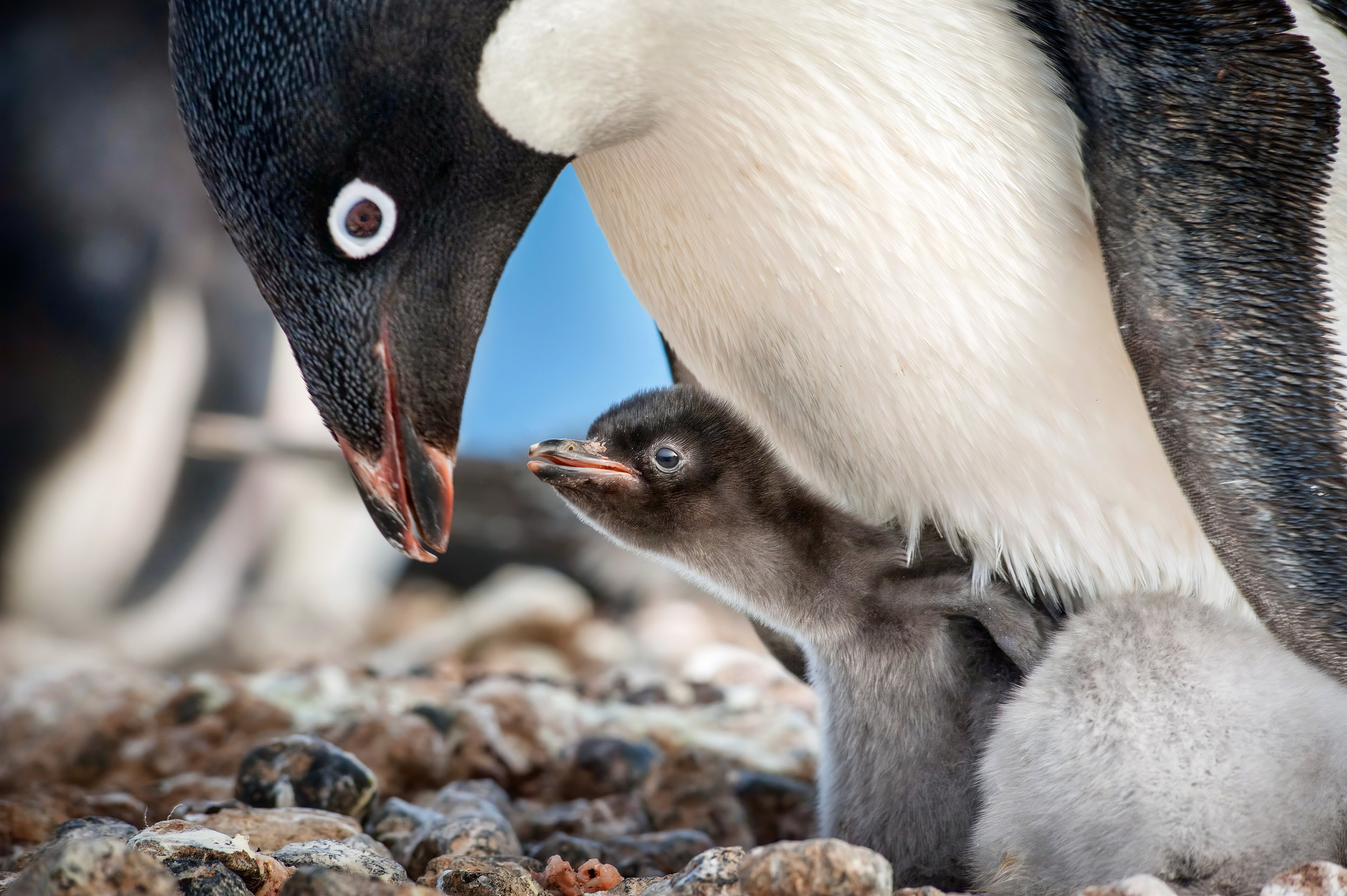 """An Adélie penguin keeps its chick warm in a colony of the flightless birds in Antarctica, in a moment from the DisneyNature documentary """"Penguins."""" (Photo courtesy DisneyNature / Walt Disney Pictures.)"""