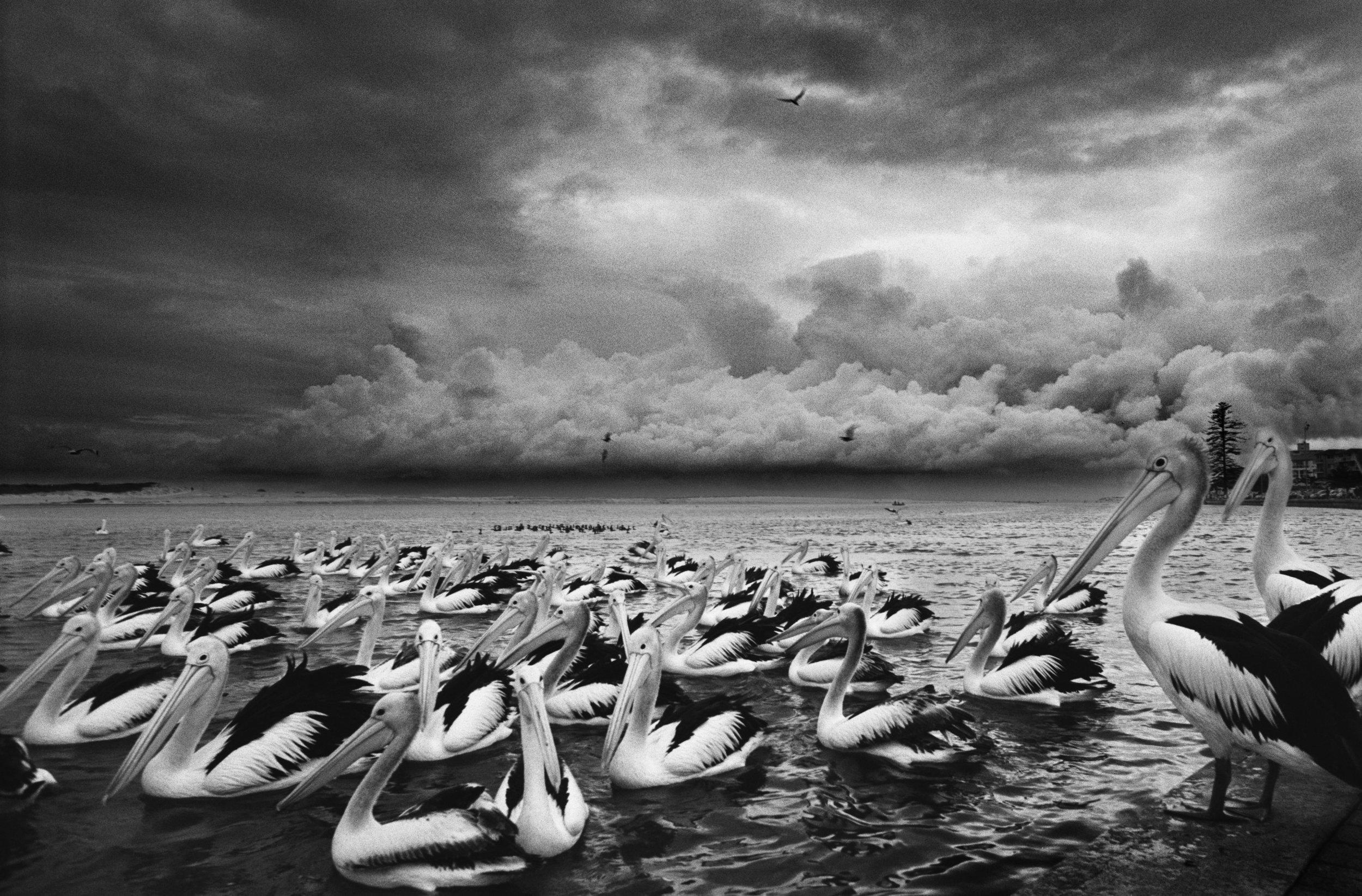 Pelicans .jpg