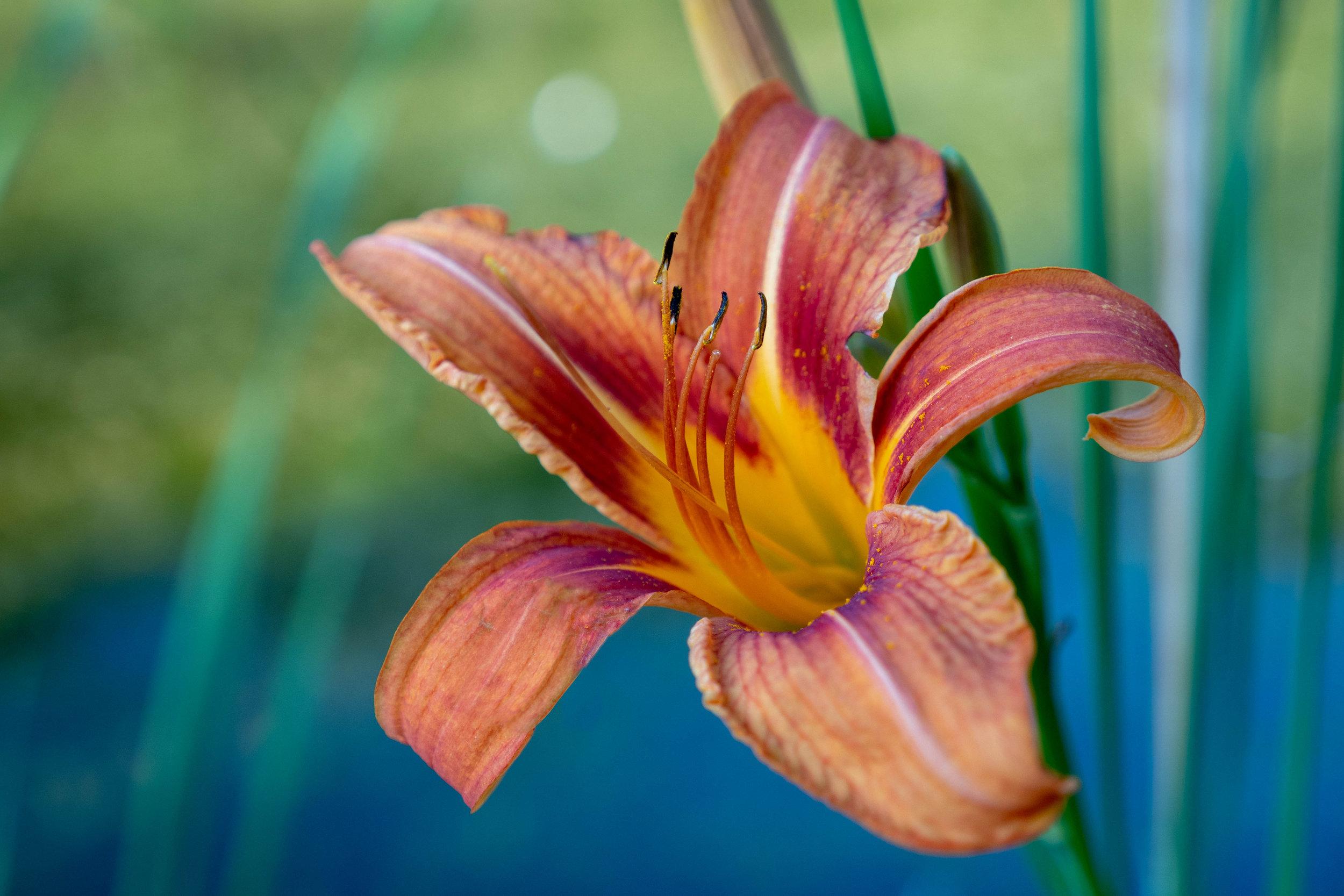 wildlily.jpg