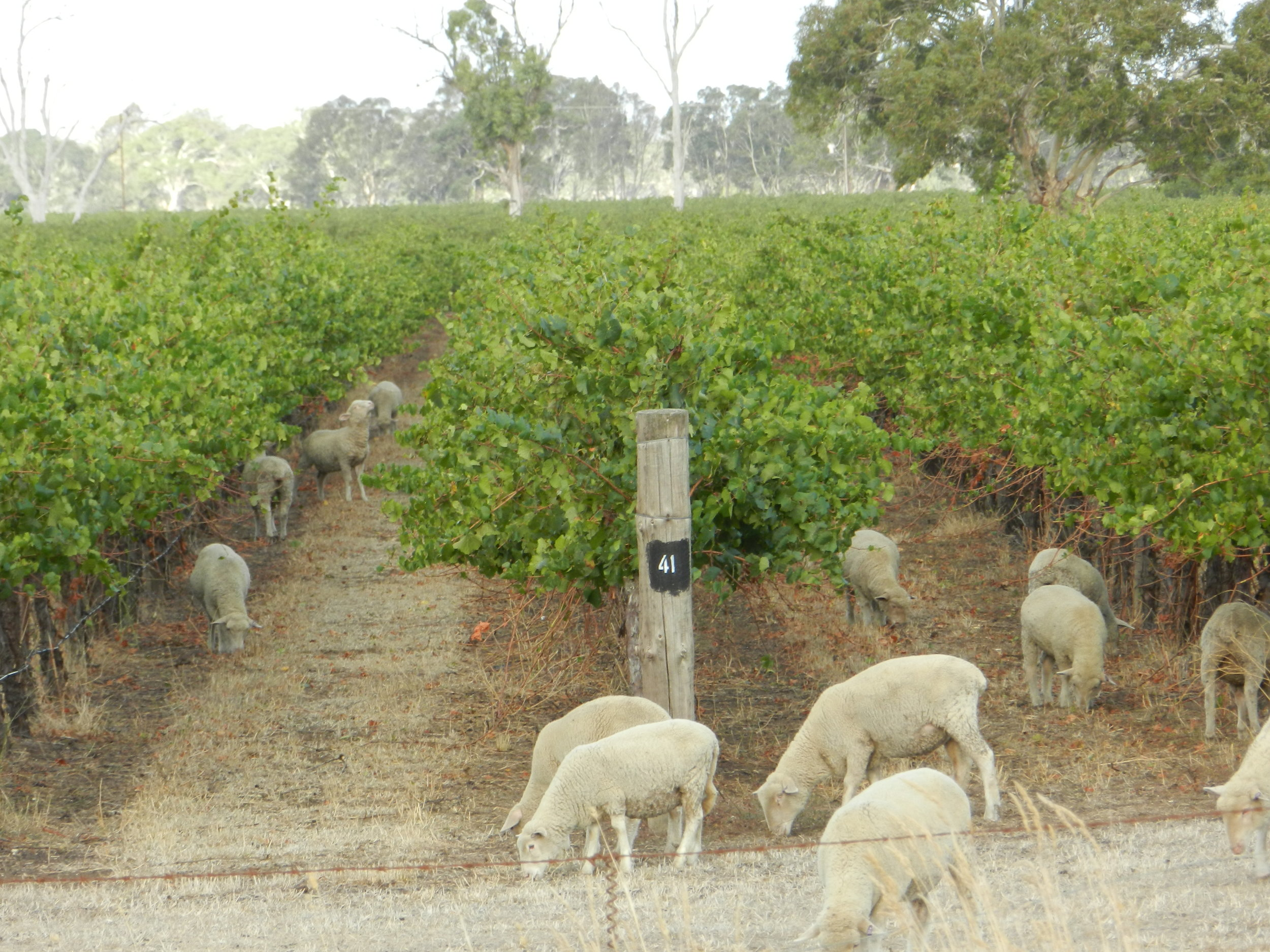 vines n sheep.JPG