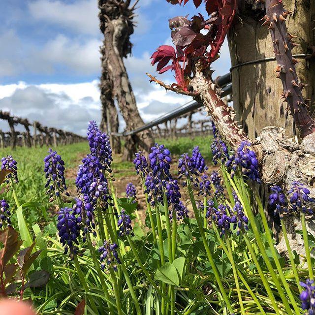 Lavender and trellis post, Parker Estate