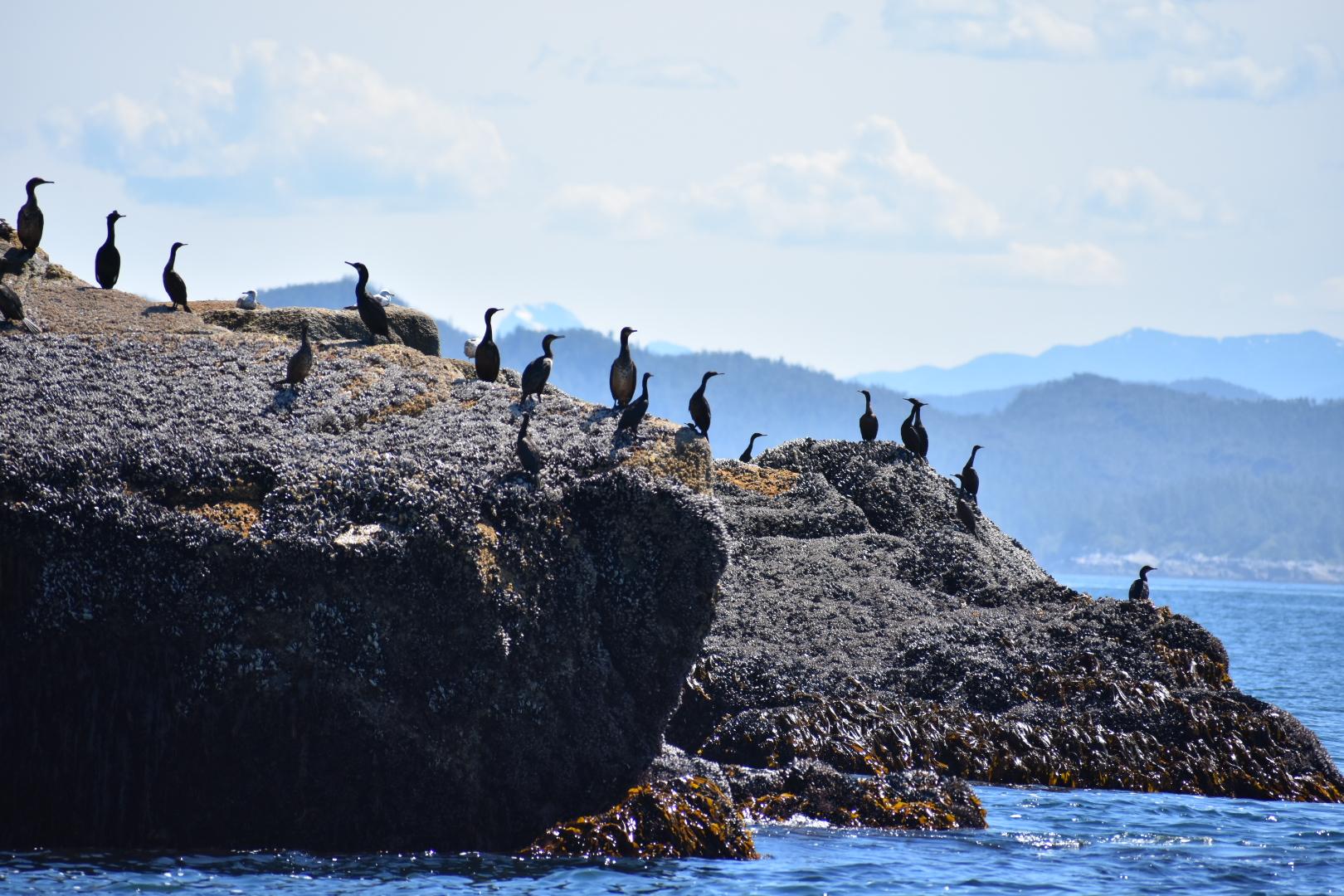 Pelagic Cormorants in Queen Charlotte Sound.