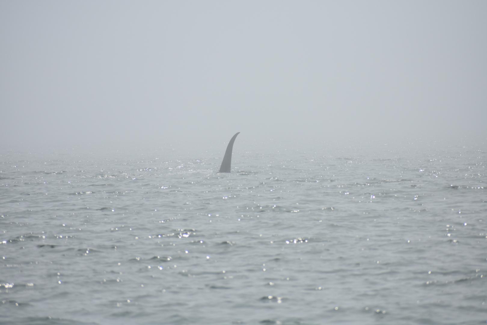 Orca in the fog.