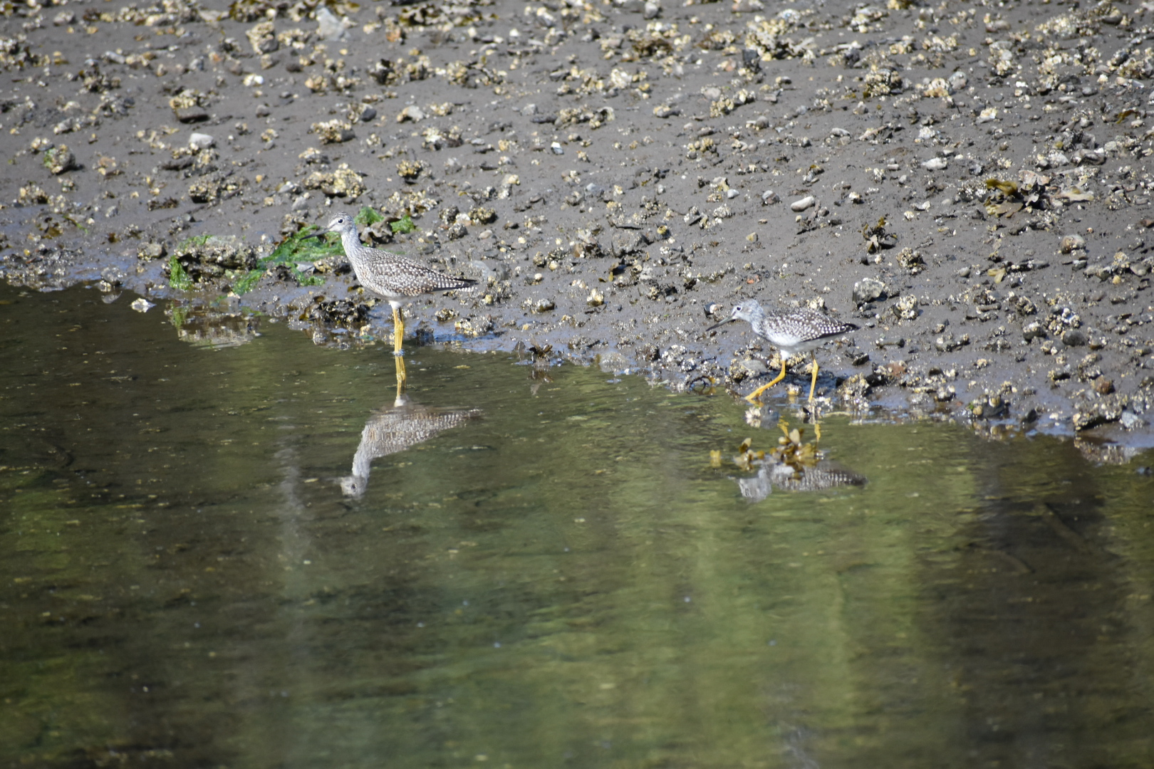 Yellowlegs at home in the mud.