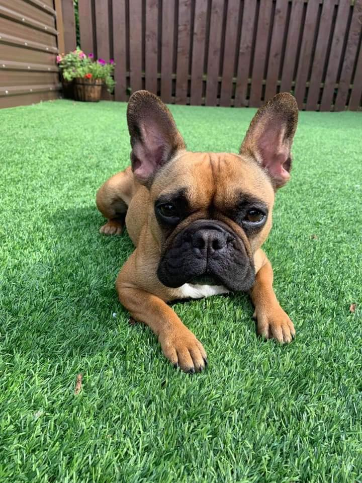 🐶Adoption Post🐶 - Age - 2 years Adoption fee - £350We have another beautiful girly up for adoption Please read very carefully what her foster family have written about her and apply if you think you are the perfect home. Thank youThis little lady is a sensitive soul with so much love to give, as long as there are humans in the house, she is chilled and happy; napping nearby, playing with her toys (elephant and dinosaur are her favourites) or a good gnaw on her bone.Due to her love for human company, she doesn't like being on her own for long periods (max 1-2 hours) but is very well behaved and in no way destructive, just pacing and keenly awaiting your return. However she happily sleeps downstairs in her own bed at night.Margot loves a walk and as long as it isn't raining she will toddle along for ages! Same goes for toileting she will always take herself outside however if it's raining she needs to be taken out.Margot now knows basic commands (sit, stay and come) and responds very well to anything that ends with a wee treat, we would recommend positive behaviour training continues.She does tend to get anxious around young active children or when humans are getting attention instead of her and so would likely continue to blossom as the only dog in a quieter home with teenagers She doesn't like cats eitherMargot travels fine in the carIf you think you are the perfect home for Margot then please send an email to fbsapplications@gmail.comStating why we should choose you over anyone elsePlease also make sure that you have downloaded and submitted an application form into us.Please note that if you are contacted and short listed a home check is to be completed within a few days of initial contact and the successful candidate will need to be available for collecting the dog within 3/4 days of being toldIf you are unsuccessful we will email you to inform you so please don't worryApplications close Tuesday 27th August at 8pmGood luck everyonePlease also bear in mind that yo