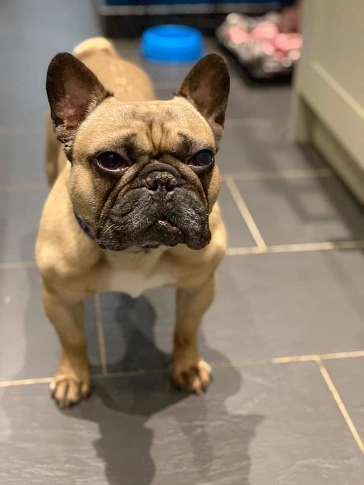 🐶Adoption Post🐶 - Age - 6 years old Adoption Fee - TBCWe have another lovely lad up for adoption. Please read what his foster mummy has wrote about him and apply if you think you are the perfect home.Harrison... how can I describe him but a lovely old man who loves fuss and nothing more but to nap in a chair. Harrison has had boas surgery in the past and has no current or on going medical issuesHarrison can be stubborn when going for a walk and sits down and refuses to move any further! . With lots of encouragement and the thought of a treat he will continue but is only currently walking one small walk a day and this has improved since being with us.Harrison can live with other dogs but he would need to be fed in a separate room away from any other fur sibling as he can become jealous over food. He doesn't like catsHe has been amazing towards my children and iv had other people with children visit and have no concerns.He is very loving and loves kisses and cuddles. He is happy to be left alone while you are out and he makes himself at home.If you think you are the perfect home for Harrison then please send an email to fbsapplications@gmail.comStating why we should choose you over anyone elsePlease also make sure that you have downloaded and submitted an application form into us.Please note that if you are contacted and short listed a home check is to be completed within a few days of initial contact and the successful candidate will need to be available for collecting the dog within 3/4 days of being toldIf you are unsuccessful we will email you to inform you so please don't worryApplications close Sunday 25th August at 8pmGood luck everyonePlease also bear in mind that you will have to travel to Leicester to collect this lovely boy