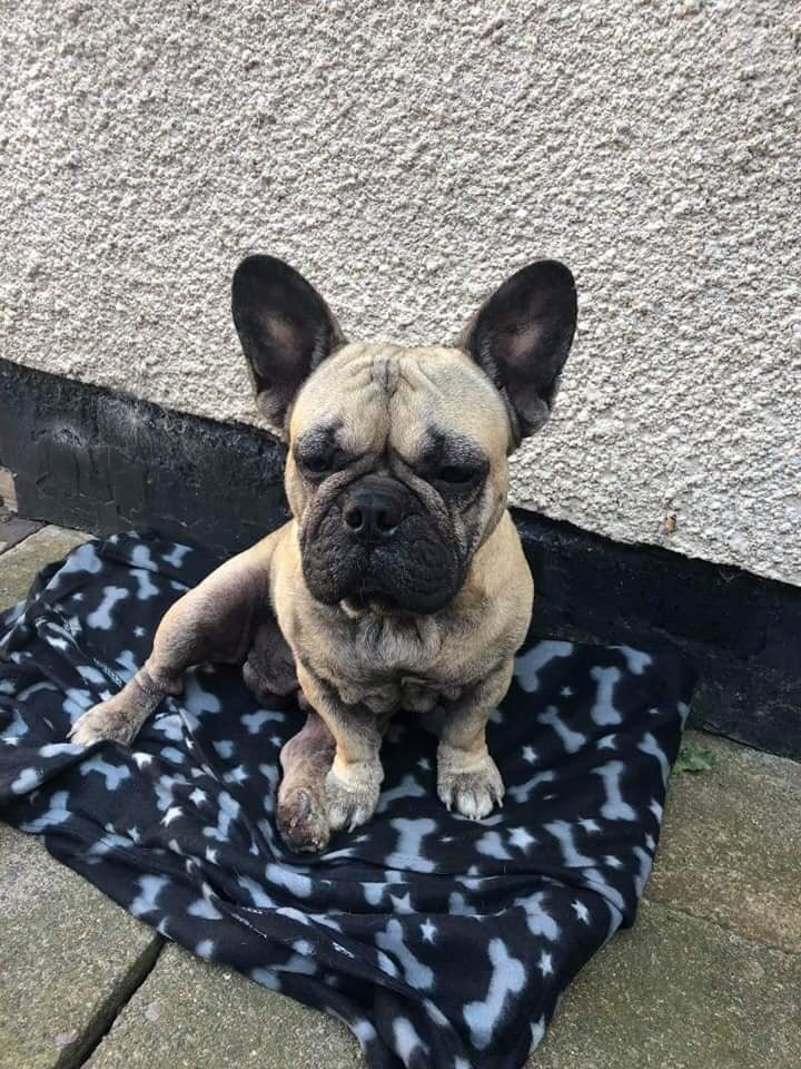 🐶Adoption Post 🐶 - Age - 2 yearsAdoption Fee - £300We have another handsome boy up for adoption 🥰Please read below very carefully as to what his foster family have said about him and apply if you think you Are the perfect home.Beefy is a gorgeous little boy. He loves human company and also a pawpal. He hasn't been around cats so we are unsure of how he would react.Sadly he does have allergies which are managed with a daily dose of apoquel which he will need to remain on. He takes his tablet without an issue, we pop it inside a cocktail sausage, a couple of occasions he has managed to sift out the tablet and spit it out, perseverance was key that day!He has suffered with ear infections previously and arrived into foster with a sever infection causing him to have a 'funky' smell about him, once this is treated with him he smells perfectly normal!Beefy is a very happy and content boy, he can be shy when first meeting people but soon comes around and loves a good fuss when he does. He loves to cuddle into you to fall asleep but soon moves once he gets too warm.Beefy loves to play and will happily please himself with toys but will bring his toys to you to throw so he can chase it. I would advise though, strong indestructible toys because soft toys will not last long, though he does love a teddy he will sometimes snuggle his face into it to fall asleep!Beefy loves to go walkies however he is a nutter to try and get his lead on and will take himself for a walk with the lead in his mouth!!He does pull though and he is a very strong boy.Beefy will eat anything that is put in-front of him, he is fed along with another dog and there is no issue with them they have different bowls and they know which is their bowl, I do however keep them a little separated as his previous owner advised not to feed with other dogsAs soon as I prepare his food Beefy now takes to the side of the kitchen, I place his bowl down and sits and waits for his bowl, he is a good boyBeefy is toilet trained
