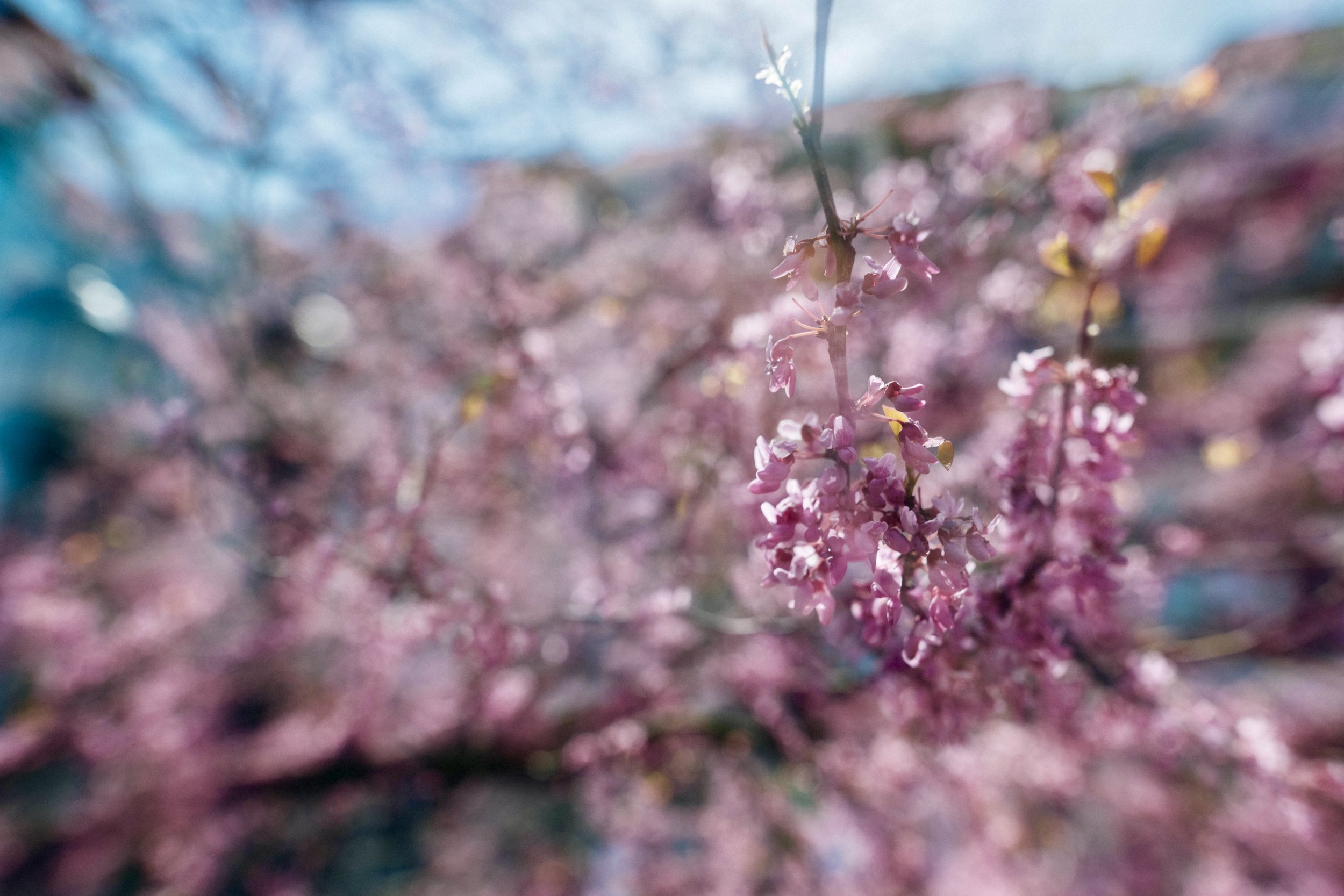 Springtime double exposure this week in downtown Greenville