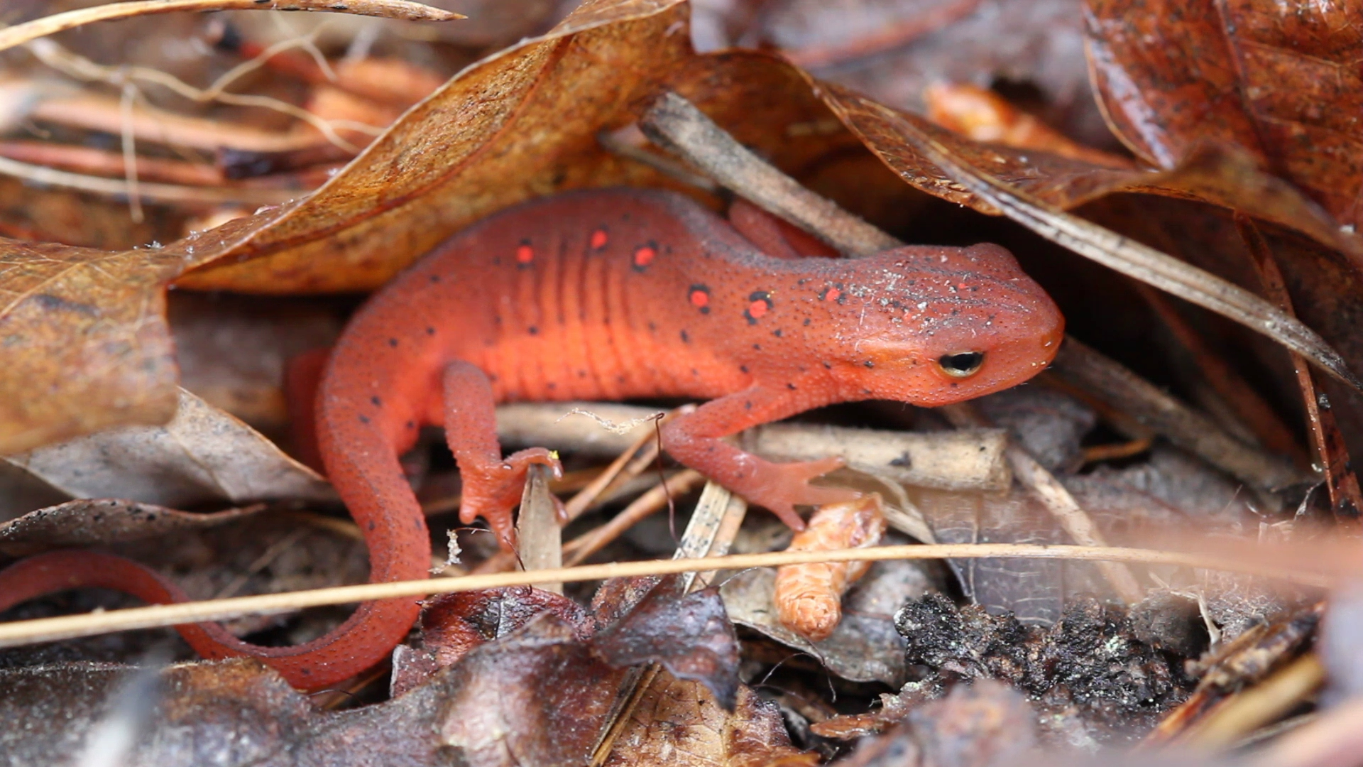 Red Eft under leaves.jpg