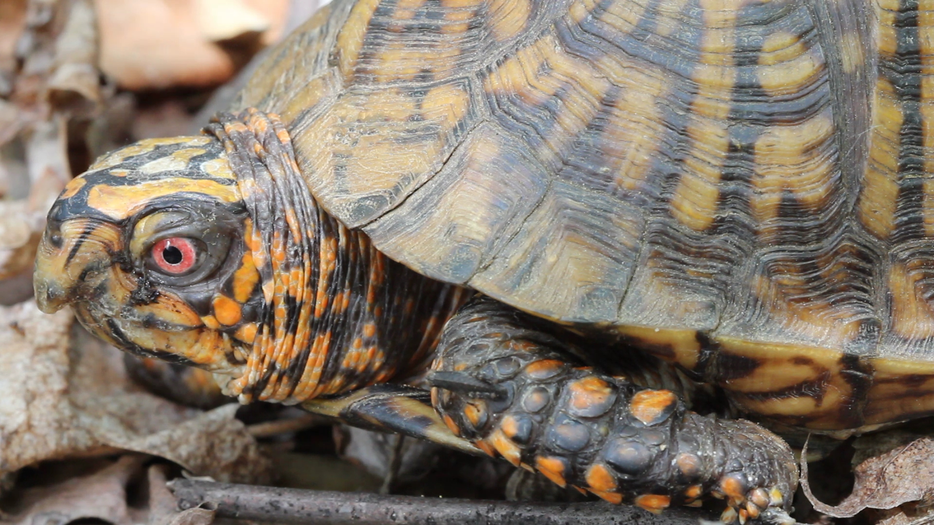 Box Turtle, right side, close-up.jpg
