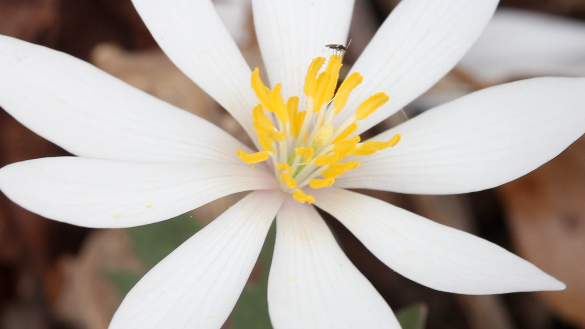 Bloodroot, close, top.jpg