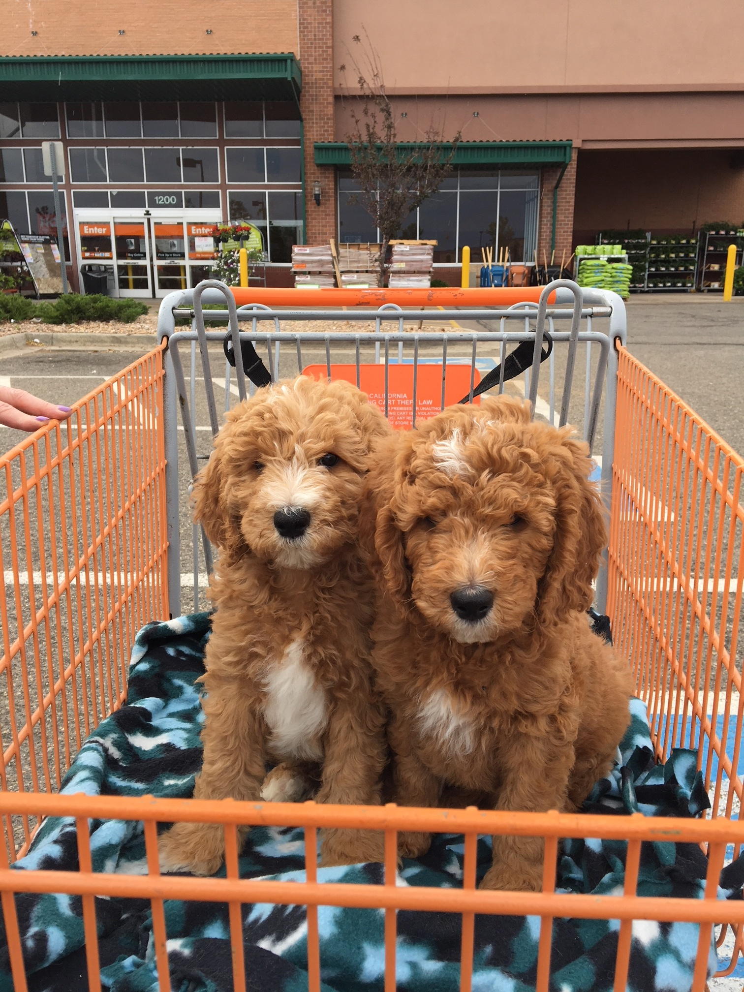 It's easy to take your pup to all sorts of stores in carts.In our experience, pups exposed to carts are comfortable later on around wheelchairs.