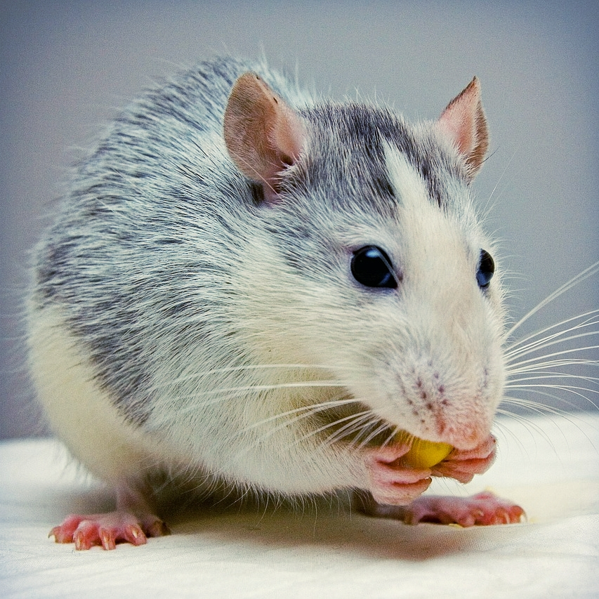 Rat Pet Cremation Madison Wisconsin
