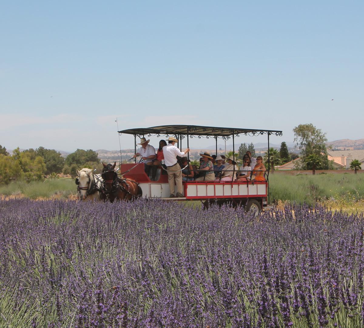 lavendar festival.jpg