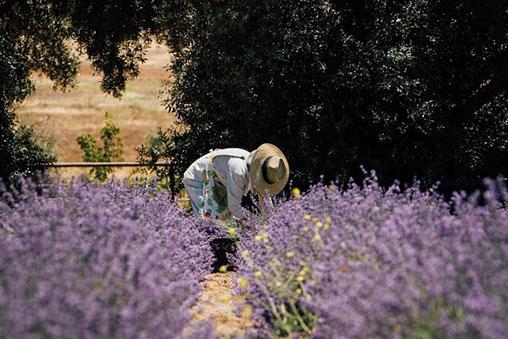 lavender-fields-3.jpg