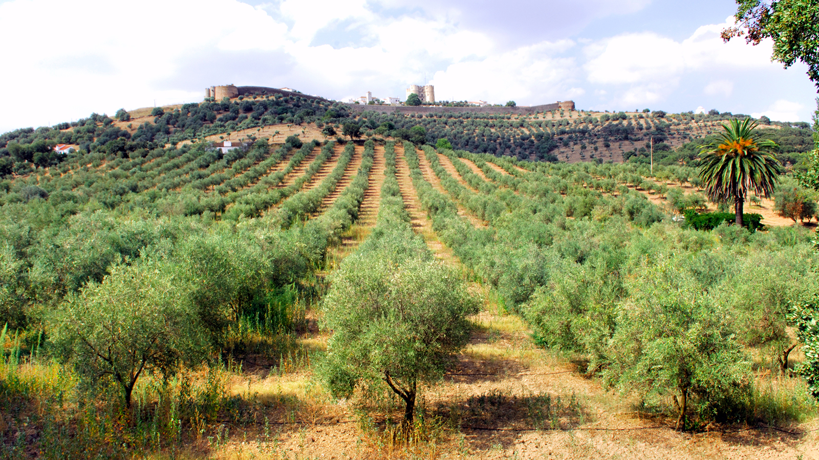 portugal-olive-trees.ngsversion.1412613051473.jpg