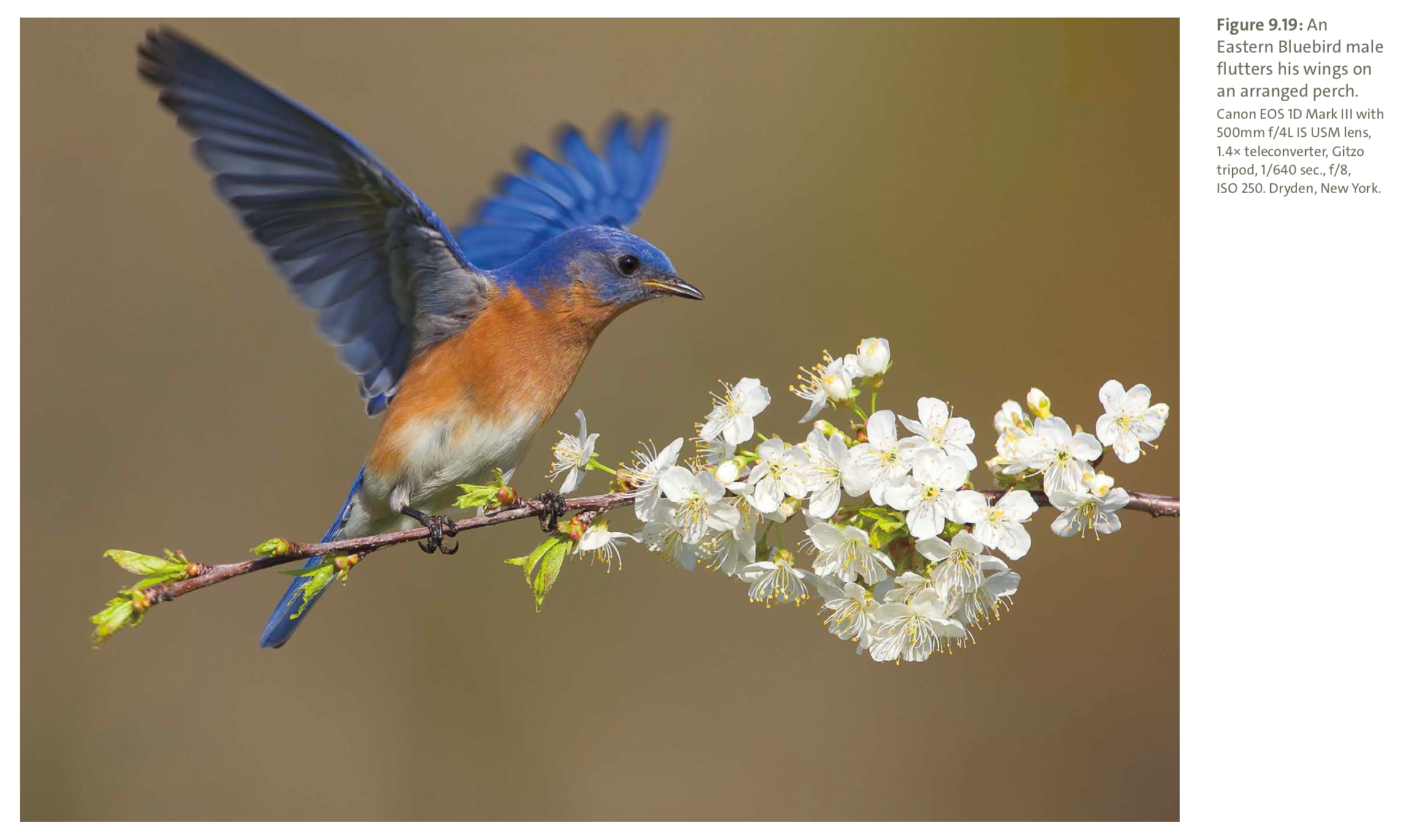 Figure 9.19 from Mastering Bird Photography  Photo: Marie Read
