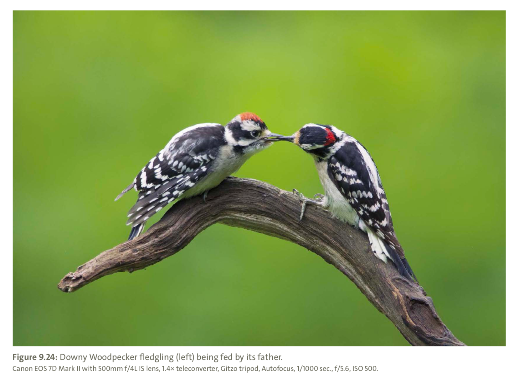 Figure 9.24 from Mastering Bird Photography  Photo: Marie Read