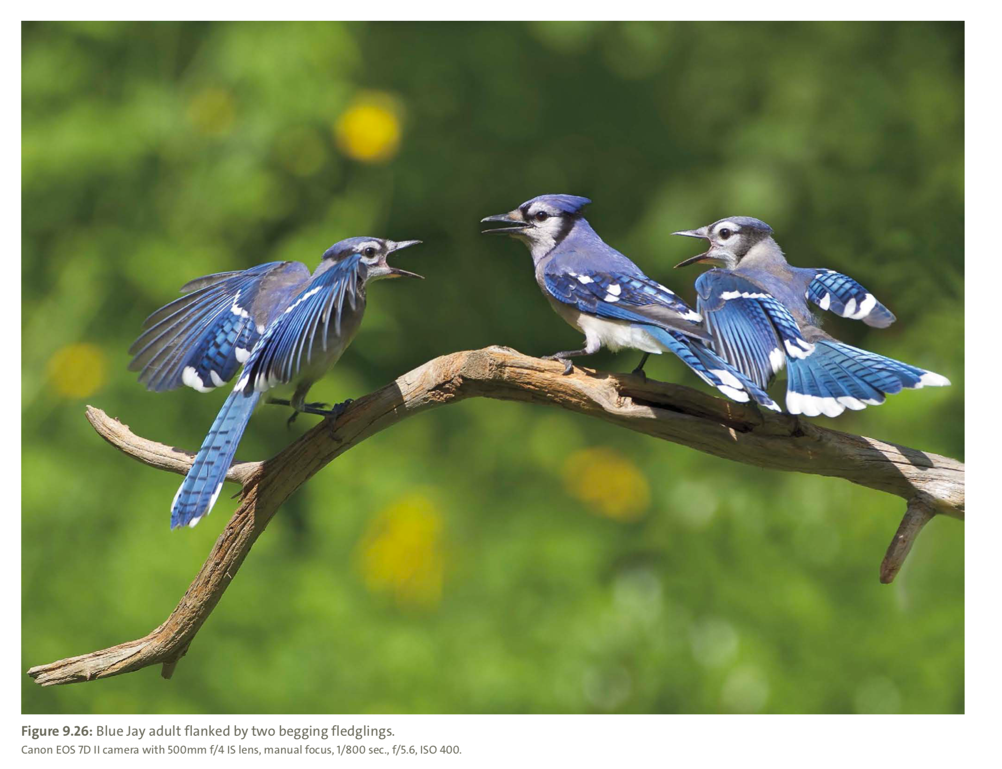 Figure 9.26 from Mastering Bird Photography  Photo: Marie Read