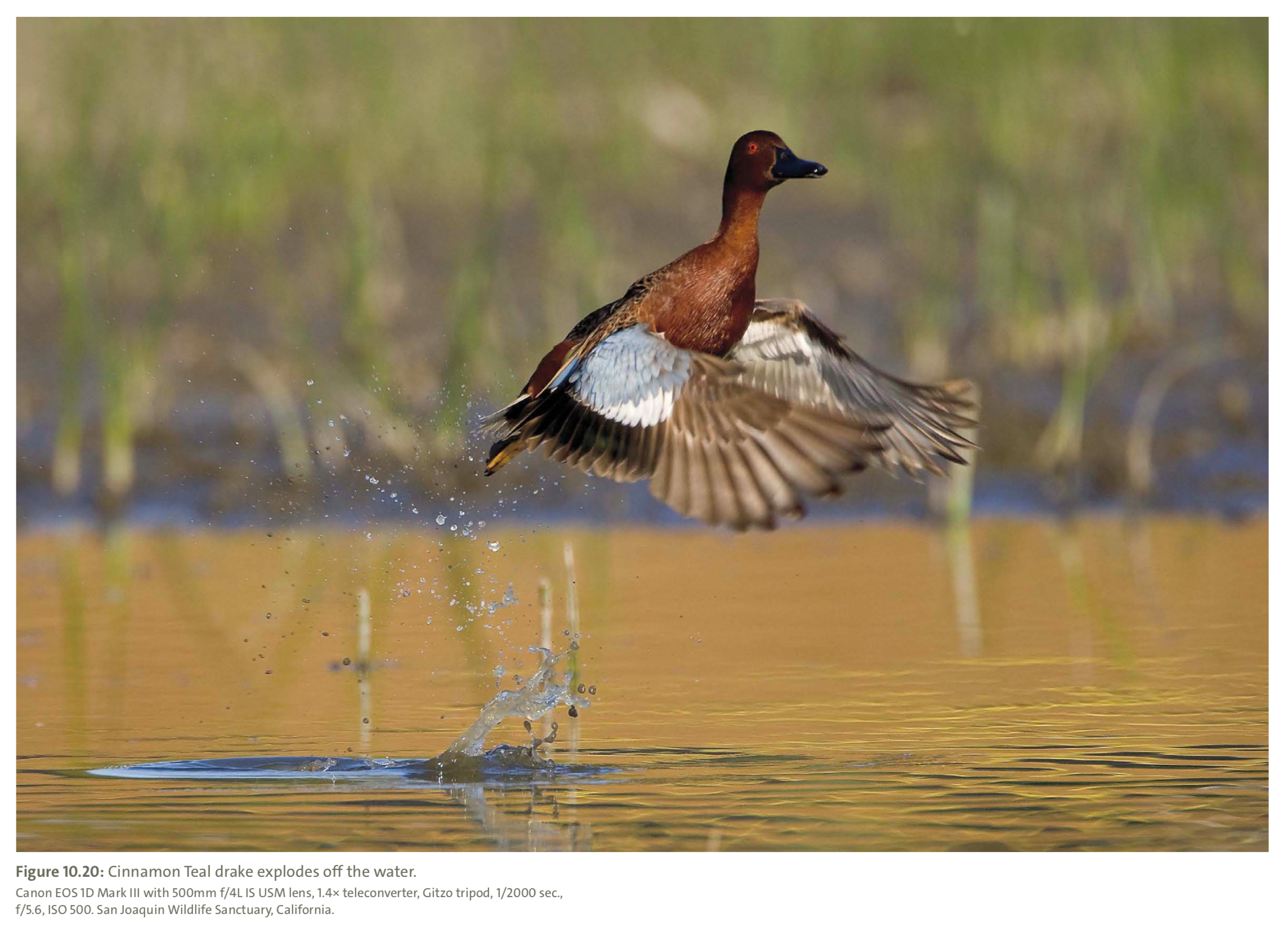 Figure 10.20 from Mastering Bird Photography  Photo: Marie Read